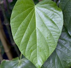 kava kava leaf