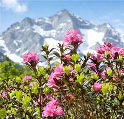 Alpine rose