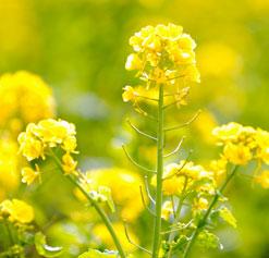 Mustard seed flowers