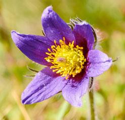 Pulsatilla flower
