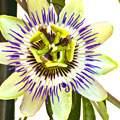 Passiflora image